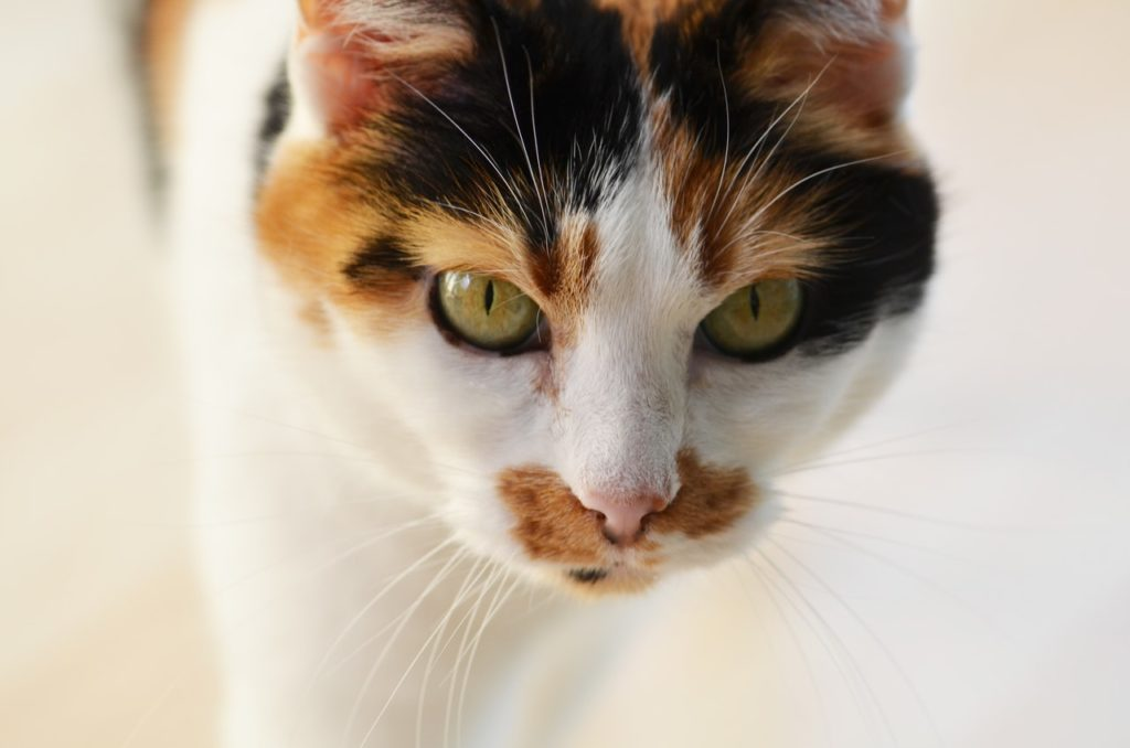 Calico cat names should capitalize on their unique patterns