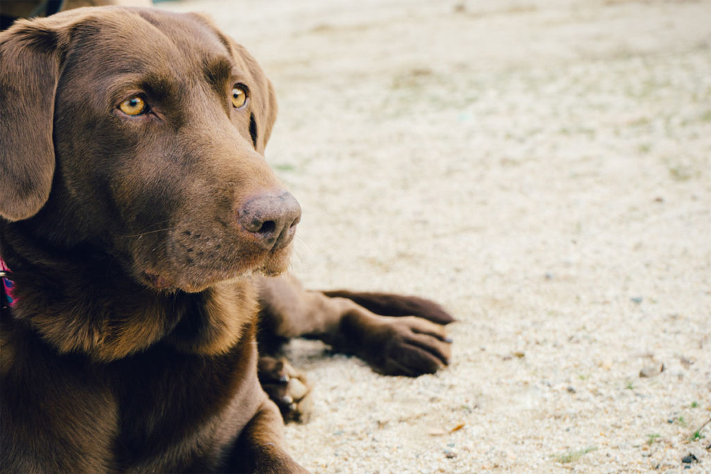 Brown dogs range in shade from deep chocolate to liver