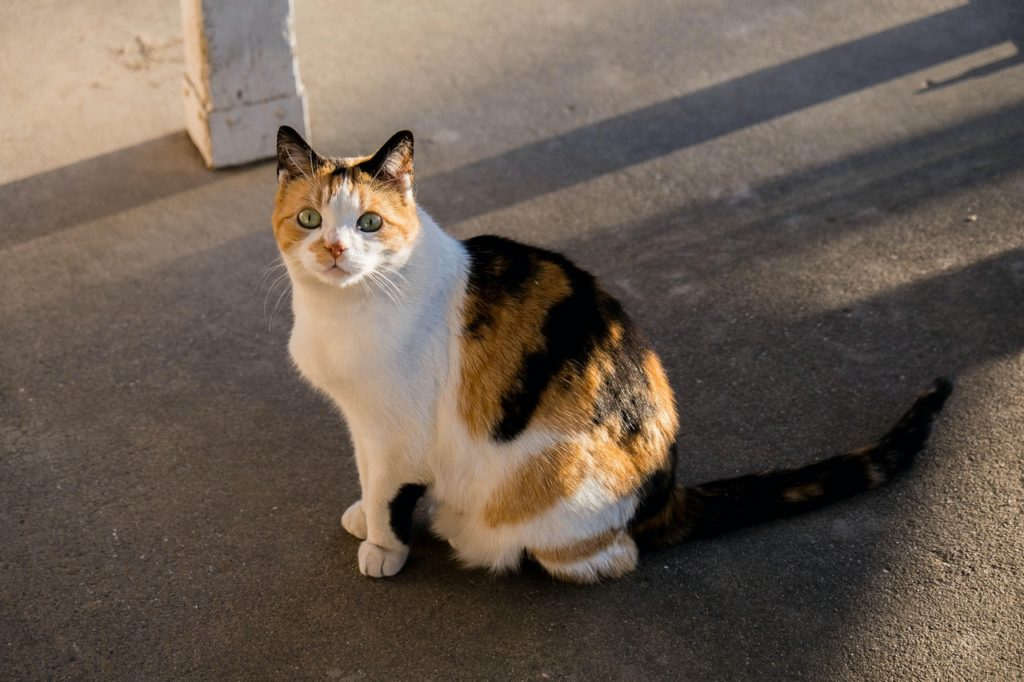 Calicos in pop culture are often portrayed as chubby