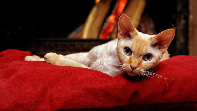 With large ears and eyes, Devon Rexes are definitely some of the cutest cat breeds