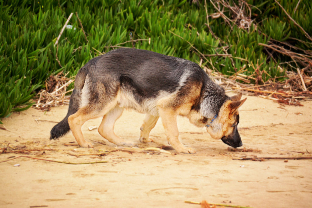 German Shepherds are one of the most popular herding dog breeds