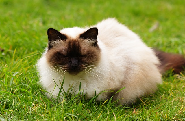 Himalayans came from crossing two other long-haired cat breeds