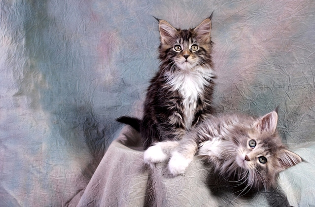 Maine Coons are on the cutest cat breed list for their sweet personalities