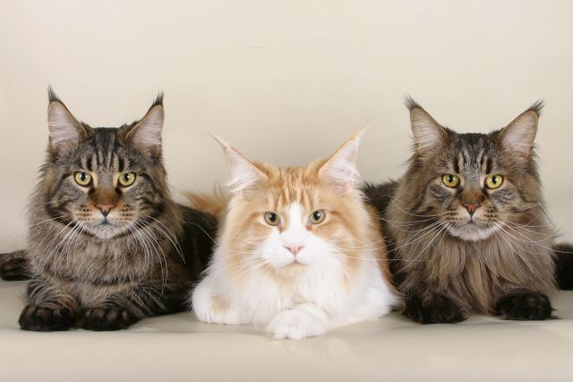 Maine Coons are the largest of the long-haired cat breeds