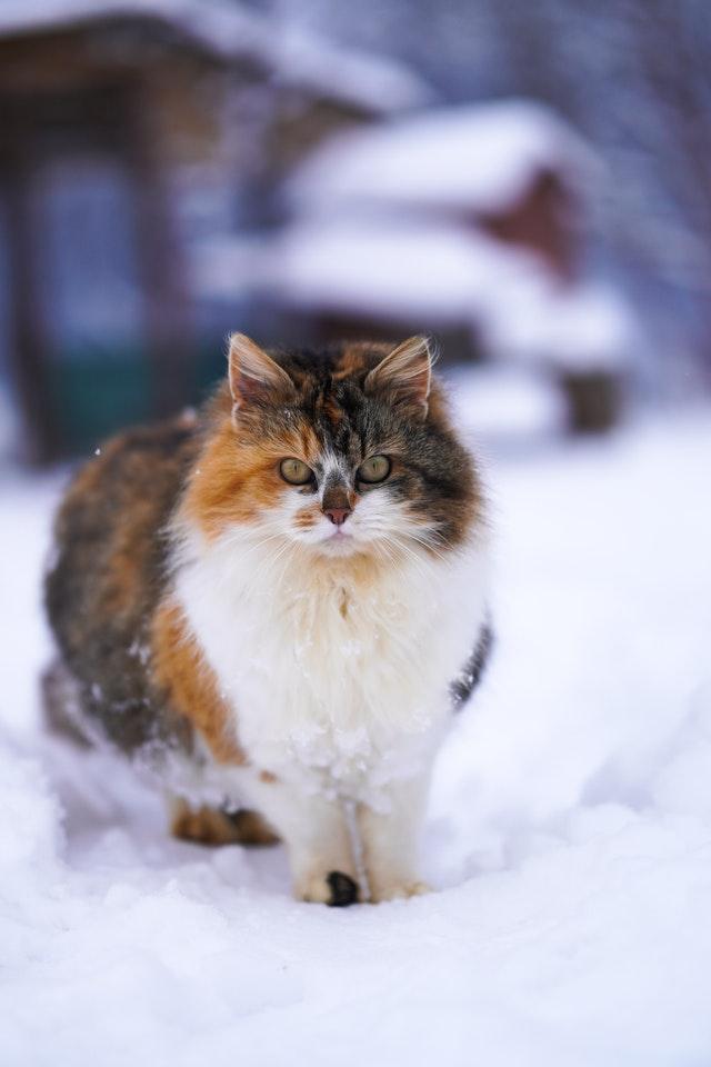 Norwegian Forest Cats have plenty of legends