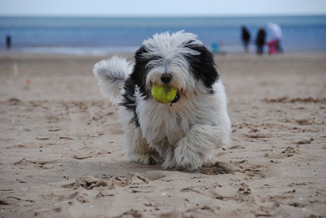 Old English Sheepdogs worked as loyal watchdogs for sheep flocks