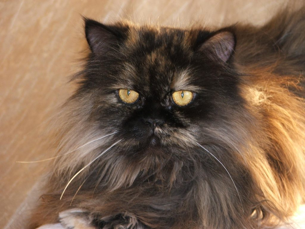 Persians have long, glossy coats that demand constant attention