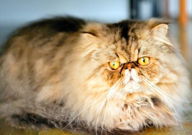Persians are the typical long-haired cat people think of