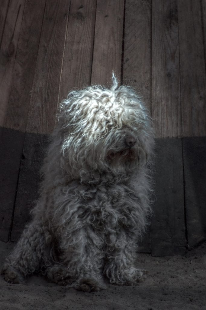 Puli are curly-coated herders from Hungary