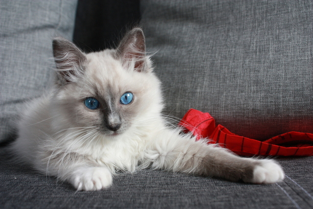 Ragdolls look and act sweet and cute