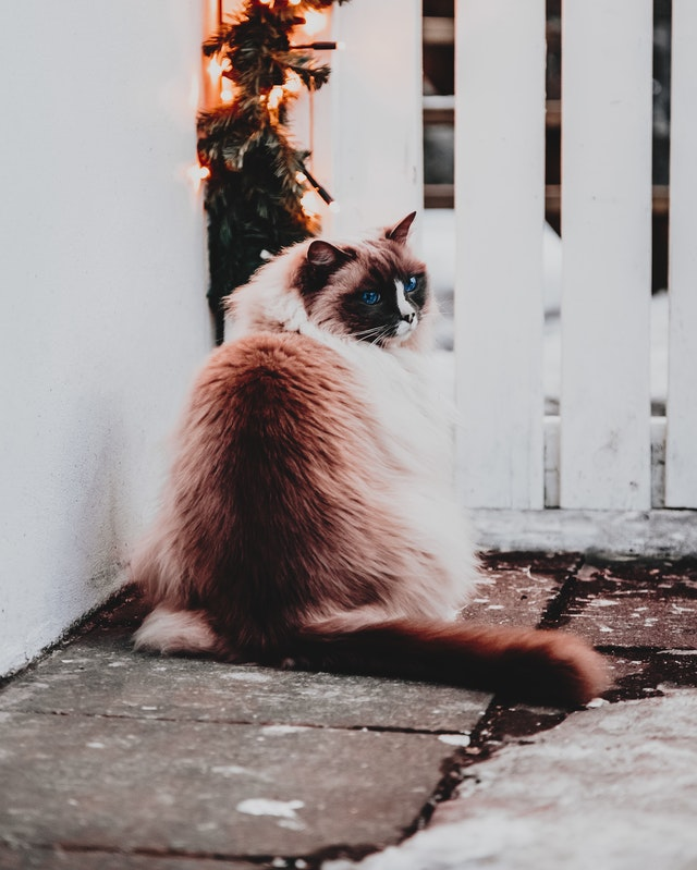 Ragdolls are favorites with people who love sweet cats