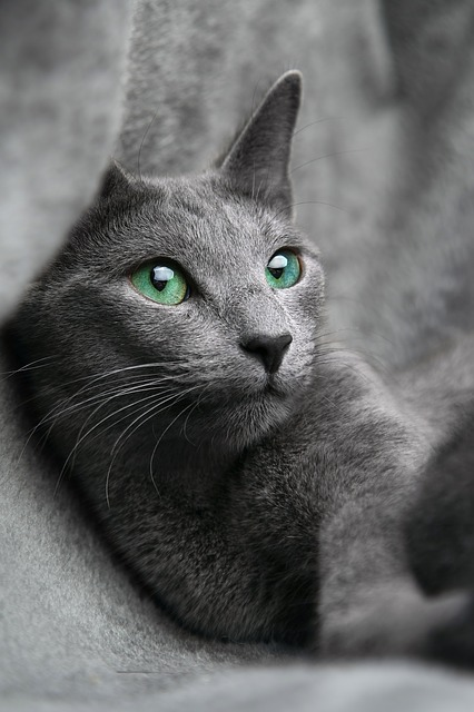 Russian Blues are one of the cutest cat breeds with their permanent smiles