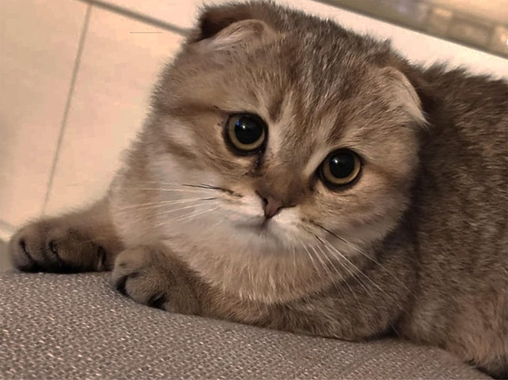 Scottish Folds always top the list in cute