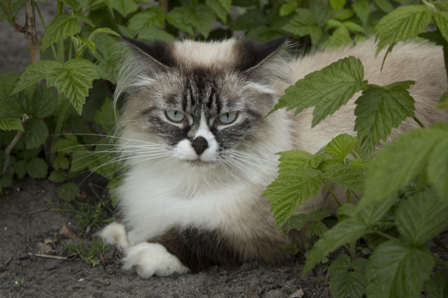 Siberians may have originated the long-haired gene