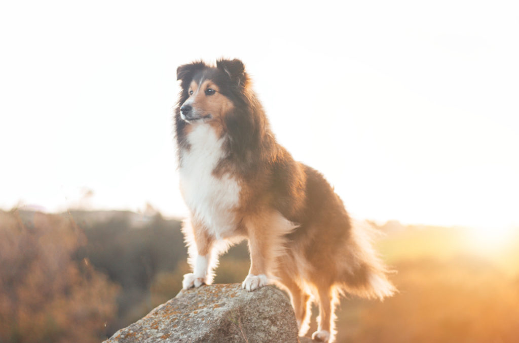 Collies come in two coat varieties: smooth and rough