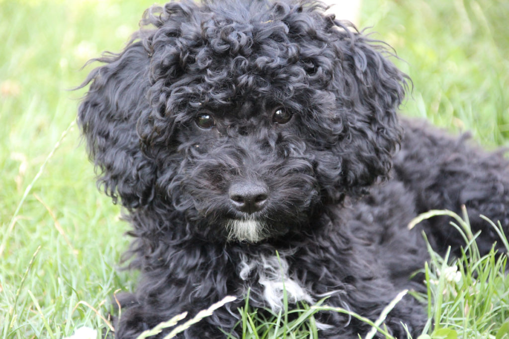 Spanish Water Dogs have wool-like coats