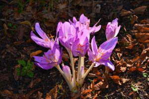 Autumn Crocus are toxic plants that may affect every part of your pet's body