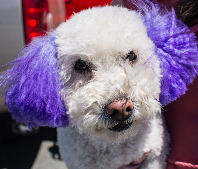 You should consider the risks before deciding to color your dog's hair