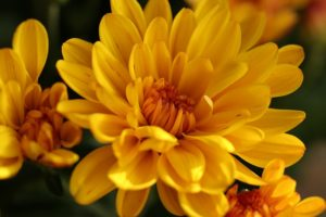 Chrysanthemums are particularly toxic plants for cats