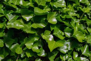 English Ivy is a toxic plant leading to GI upset
