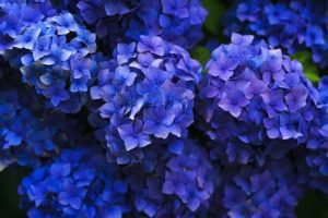 Hydrangeas are a toxic plant that contain cyanide
