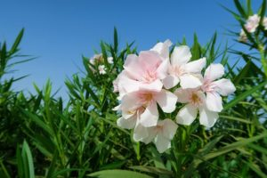 Oleander is a toxic plant that leads to cardiac issues