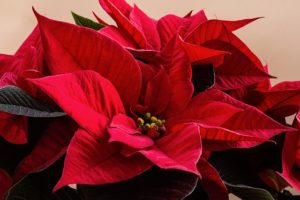 Poinsettias aren't as much of a toxic plant as many people believe