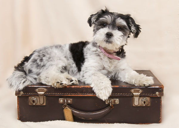 Flying with a dog isn't impossible, but it takes care