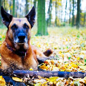 The best guard dog breeds are alert and aware at all times
