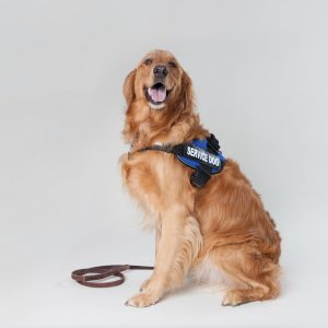 The best service dogs are easy to train