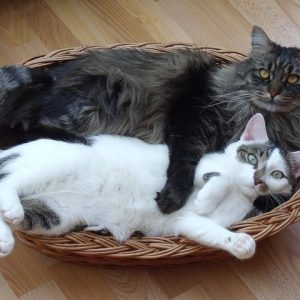 The most affectionate cat breeds love spending time with everyone