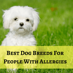 Dog breeds for people with allergies aren't always hypoallergenic, but they're close