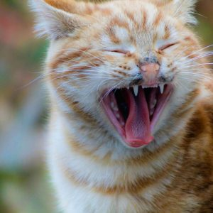 Cat dental treats help protect your cat's teeth and gums
