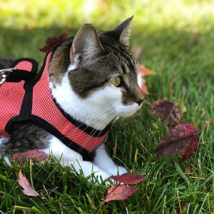Cat harnesses allow your cat to safely get outside