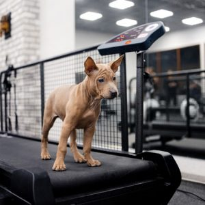 Dog treadmills allow owners to walk their dogs at any time