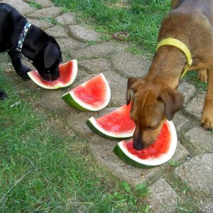 Dogs eat watermelon as a fun summer treat