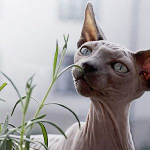 Hairless cat breeds intrigue or confuse people