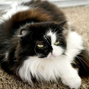 Long-haired cat breeds require additional grooming attention