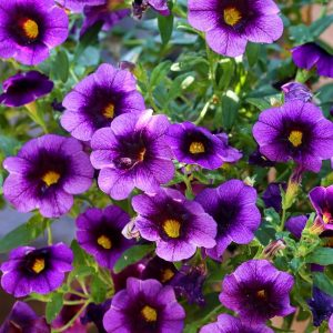 Petunias are cat-friendly flowers you can keep in your garden