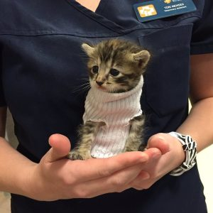 Pipes the kitten wearing a sock as a turtleneck