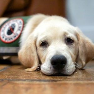 Get a service dog for whatever assistance you need