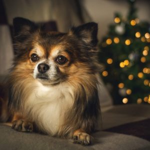 The chihuahua lifespan is one of the longest among dog breeds